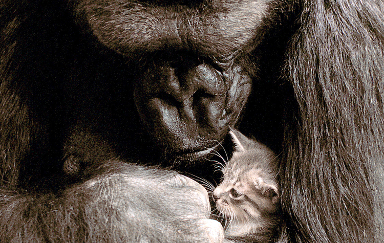 Koko the gorilla and kitten